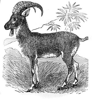 Goat of Sinai