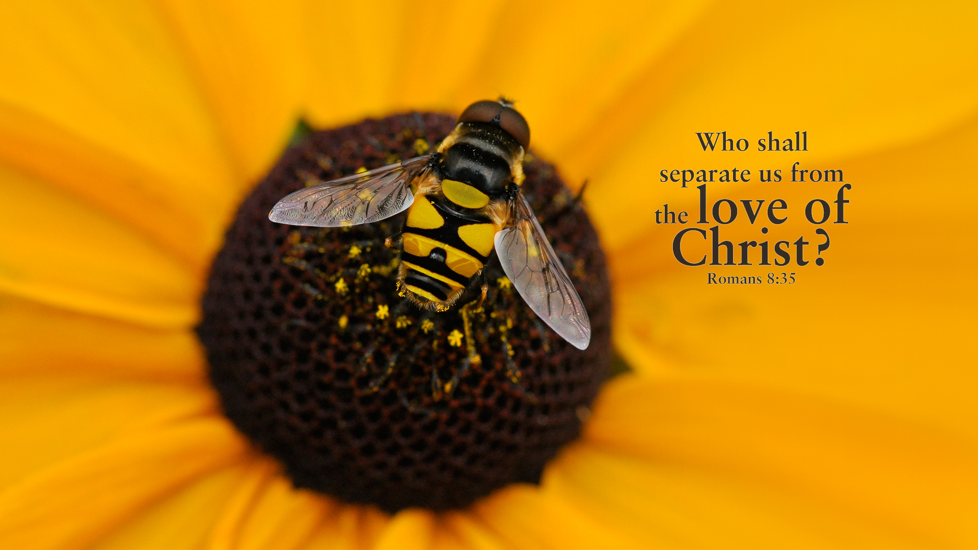 Bee-Flower–Romans 8:35–Wallpaper