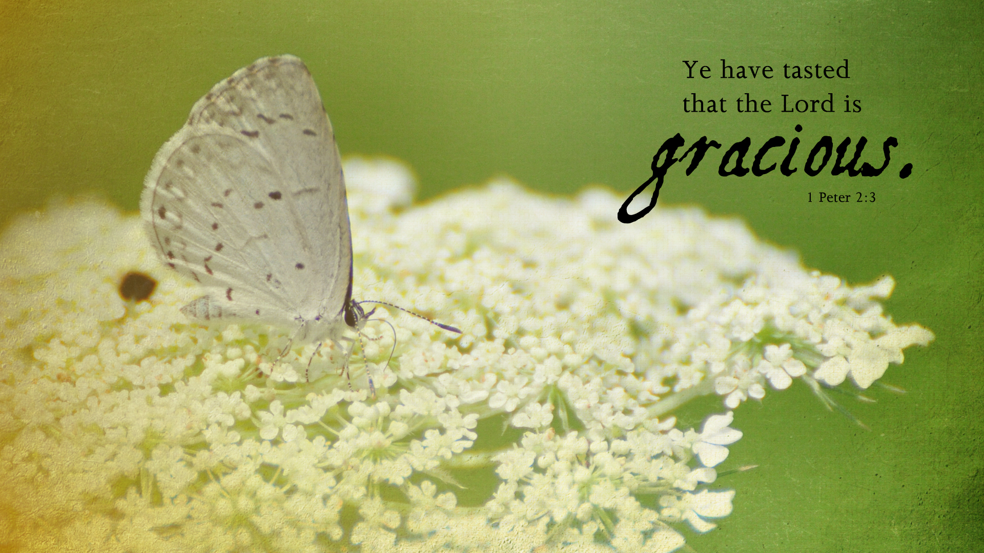 Butterfly-Queen Anne's Lace–1 Peter 2:3–Wallpaper