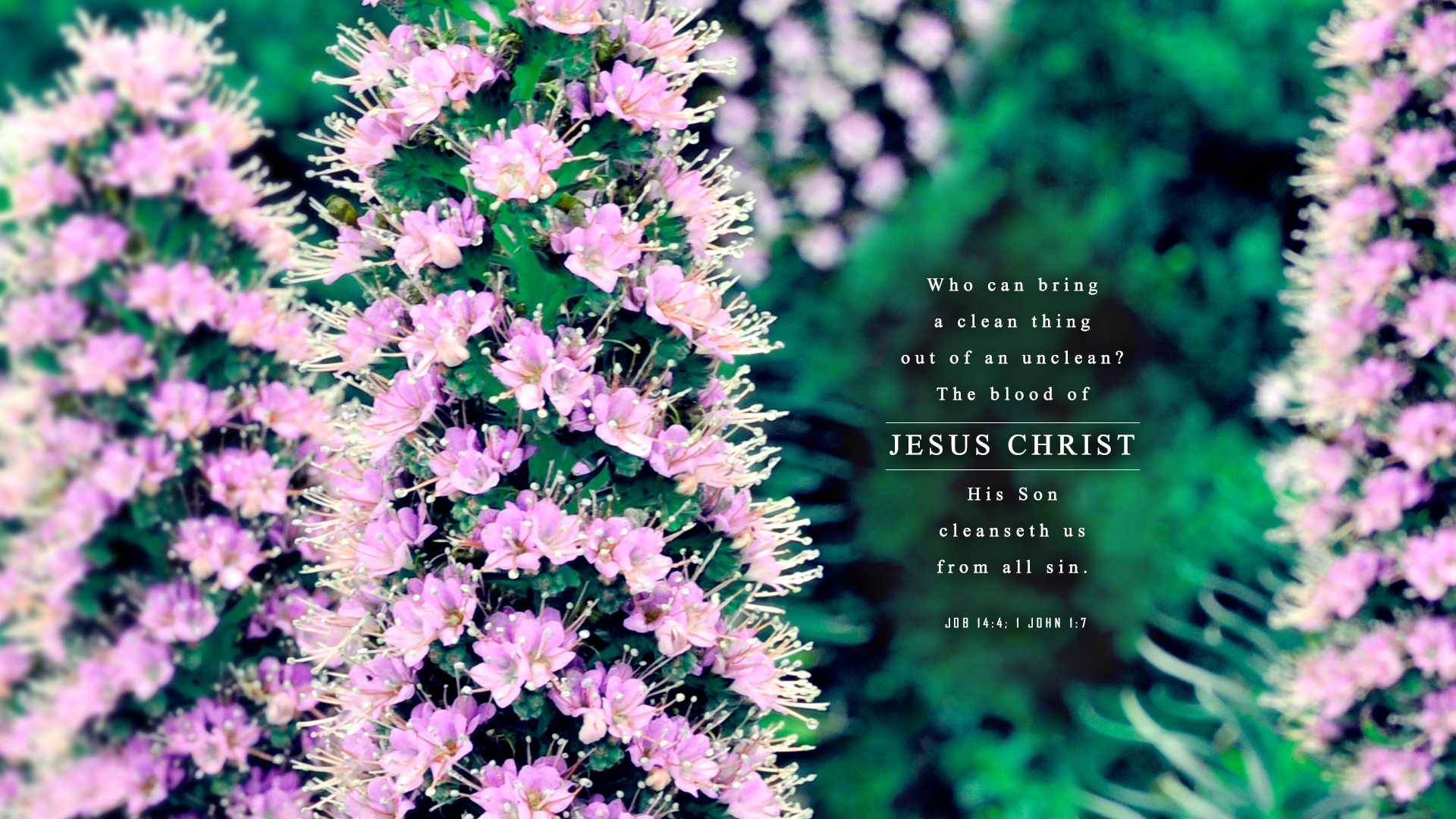 Pink Flowers–Job 14:4; 1 John 1:7–Wallpaper
